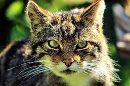 wildcat.jpg
