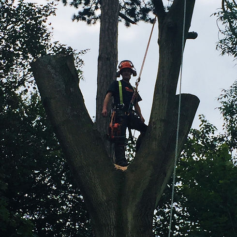 tree surgeon completing crown lifting