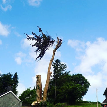 tree being carefully dismantled