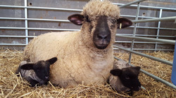Shearling ewe with twin lambs