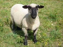 Banburyhill shearling ewe