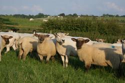 Oxford Sired Lambs with Texel x ewe