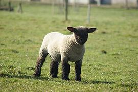 Oxford Down ram lamb