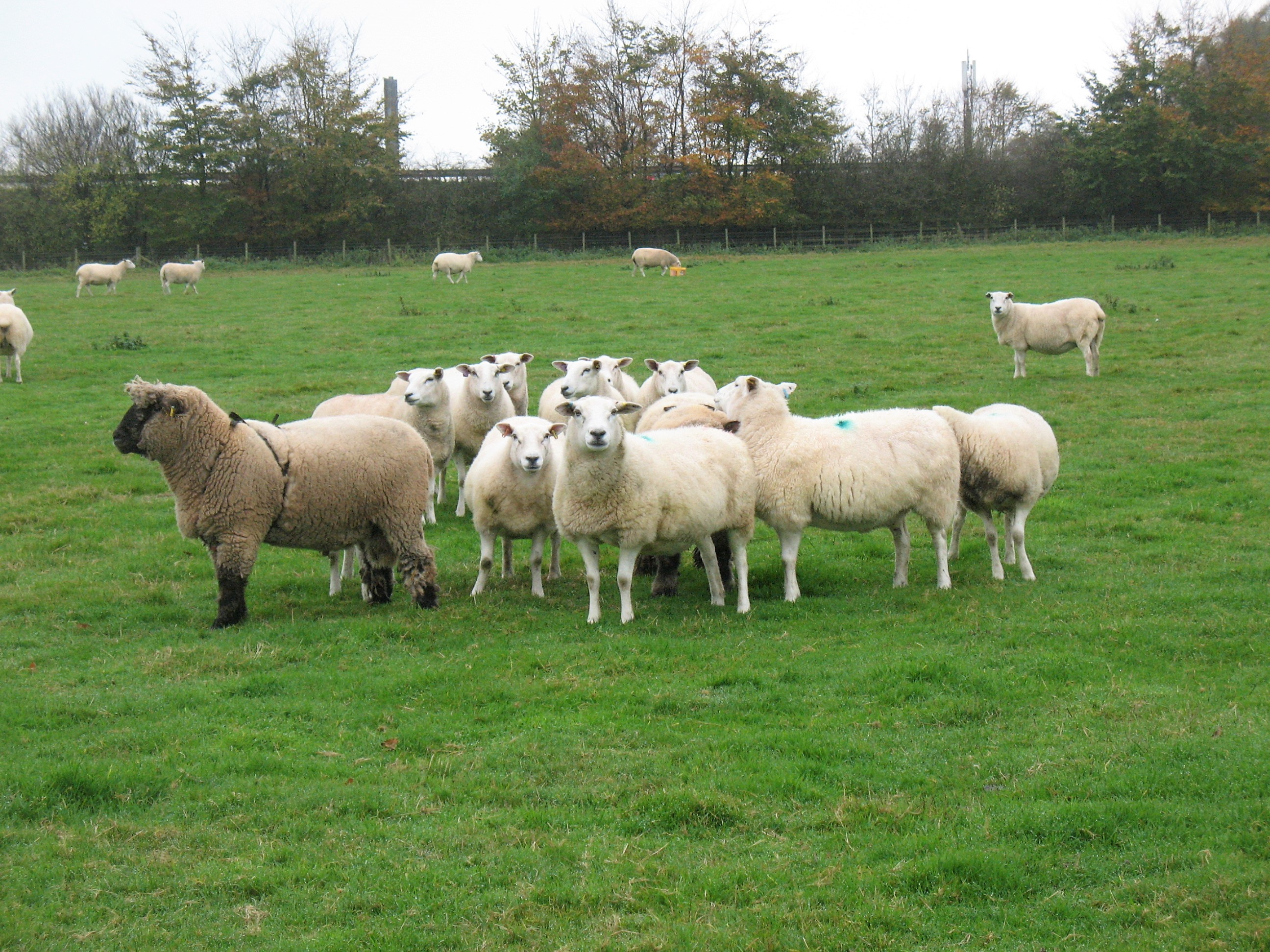 Oxford ram with Lleyn ewes