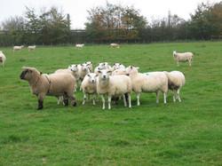 Oxford ram with Lleyn ewes