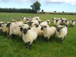 Oxford Down Shearling Ewes