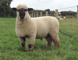 Monkstone Ram Lamb