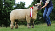 New 1350gns Oxford Down record at Worcester
