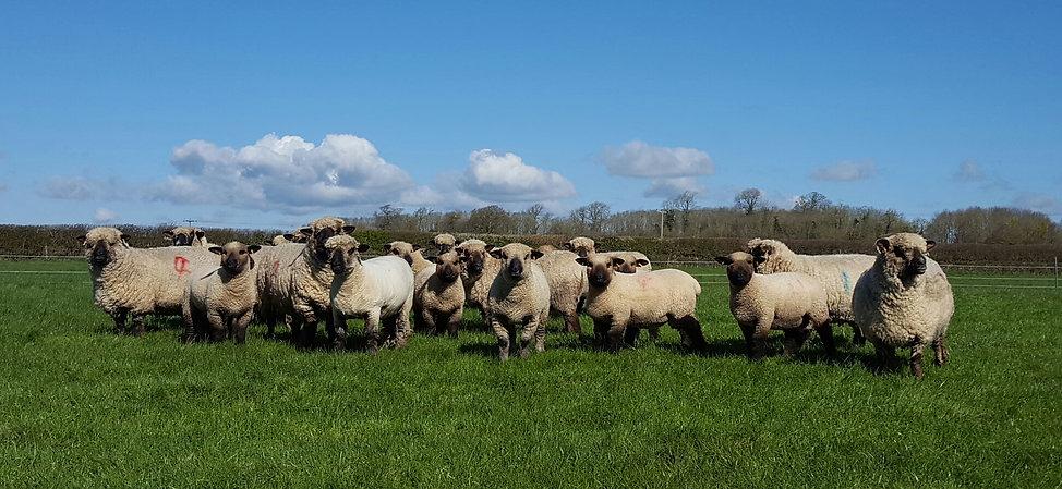 Lydiard Oxford Down Sheep