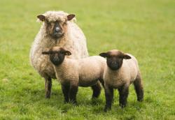 Oxford Down ewe with twin lambs