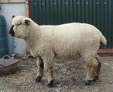 Hillstone ram lamb 1 05-08-21.JPG