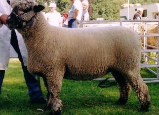 New Online Sheep Show no Live - No 2
