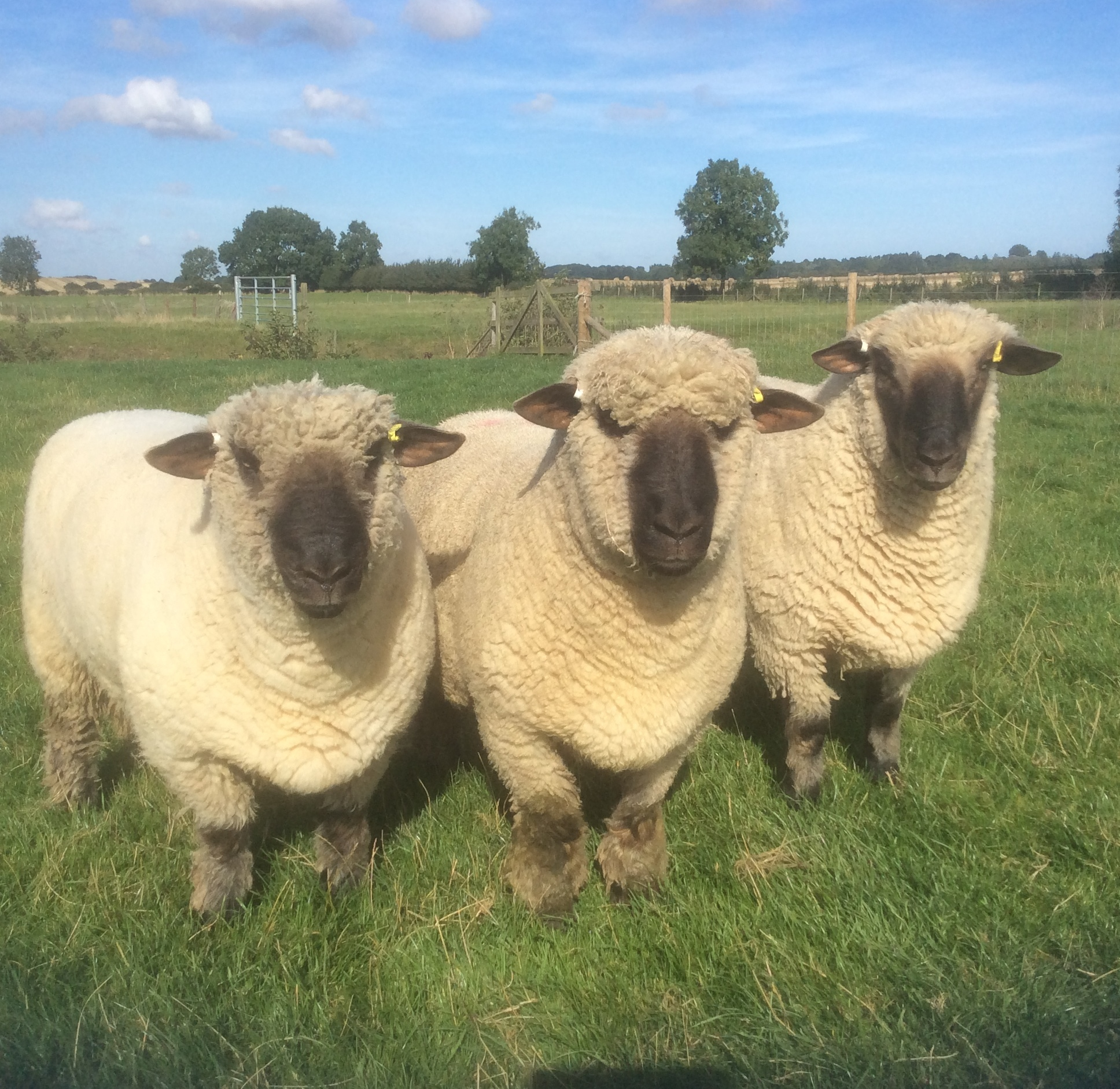 Oxford Down Shearling Rams