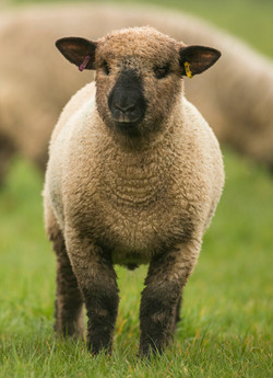 Oxford Down Ram lamb 3 months old