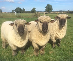 Horsley shearling rams