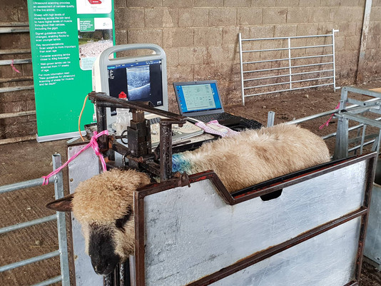Sucessful Signet demo day at Lydiard Oxford Down, Wiltshire