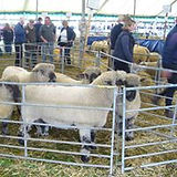 A pen of Oxford Rams at Kelso Ram sale