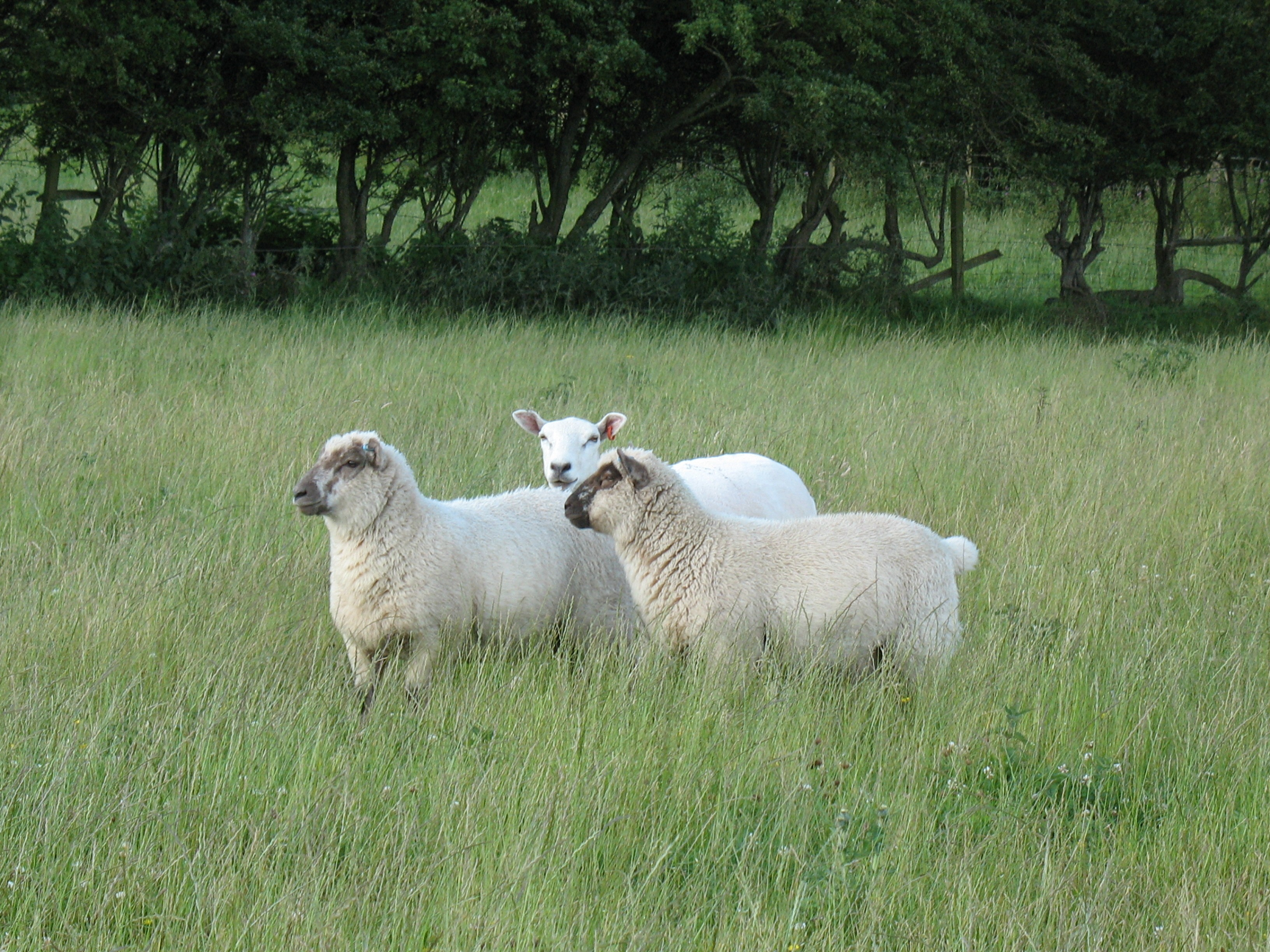 Lleyn ewe with Oxford x lambs