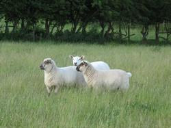 Lleyn ewe with Oxford x lambs