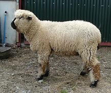 Hillstone ram lamb 2 05-08-21.JPG