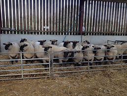 Pen of Oxfords ready for Builth ram sale