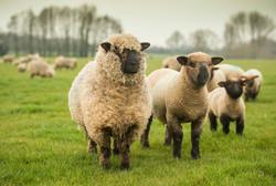 Oxford Down ram lamb and ewe