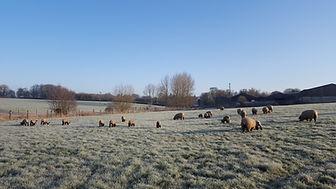 Oxford Down Ewe and Lambs