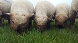 Oxford Down Lambs