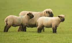 Oxford Down Twin ram lambs and ewe