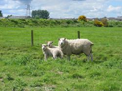 Lleyn ewe with oxford sired lambs