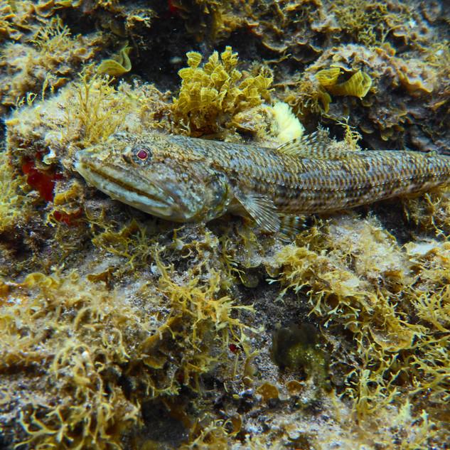 Lizard Fish, Tenerife