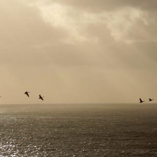Goose Migration, Cardigan 2015