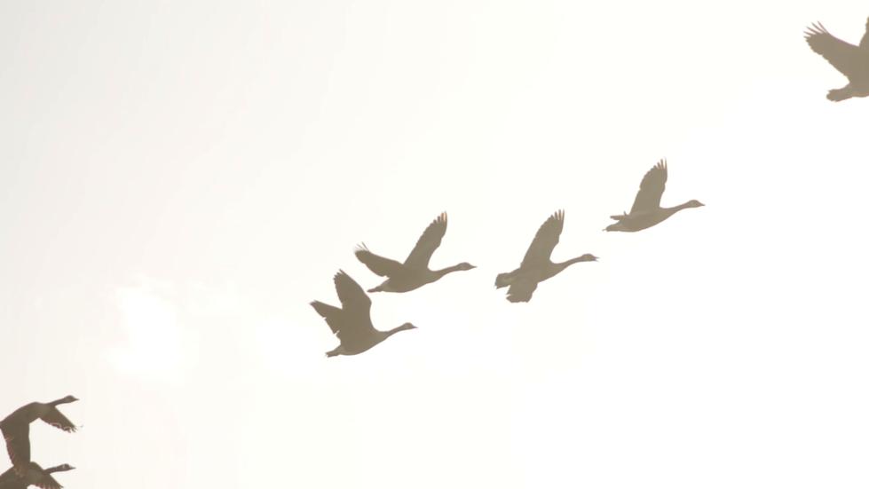 geese.bmp