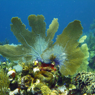 Fan Coral, Honduras