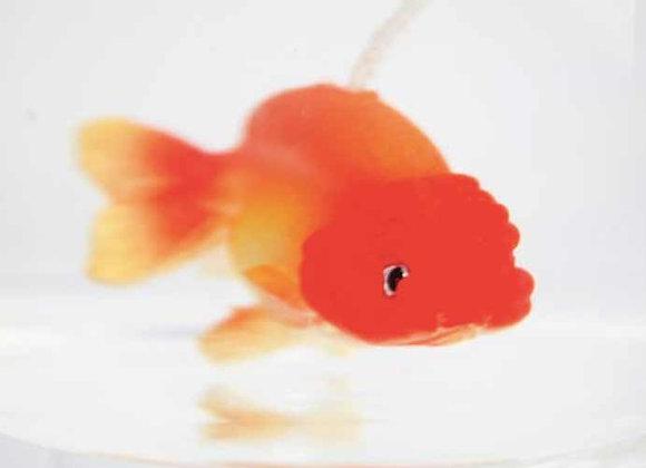 Lanshou goldfish (Orange)