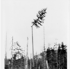High Rigger toping a Tree
