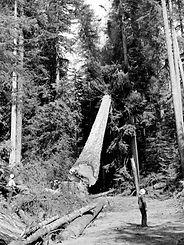 Logging D Fir Cow Lake 1950.jpg