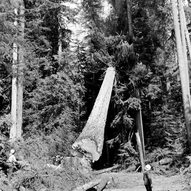 Logging Douglas Fir Cowichan Lake 1950