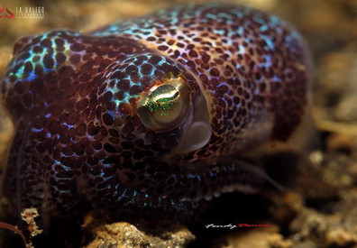 la-galigo-liveaboard-bobtail-squidw857h5