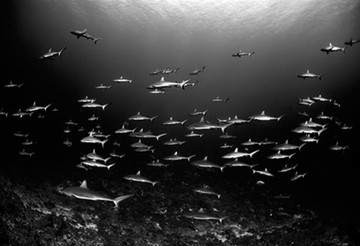 Wall_of_Sharks_French_Polynesia02w857h57