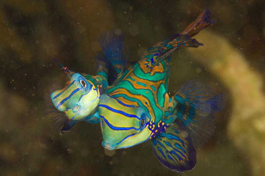 mandarinfish_lrw857h570crwidth857crheigh