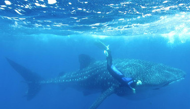 whaleshark-freediver-humboldt-explorer-g
