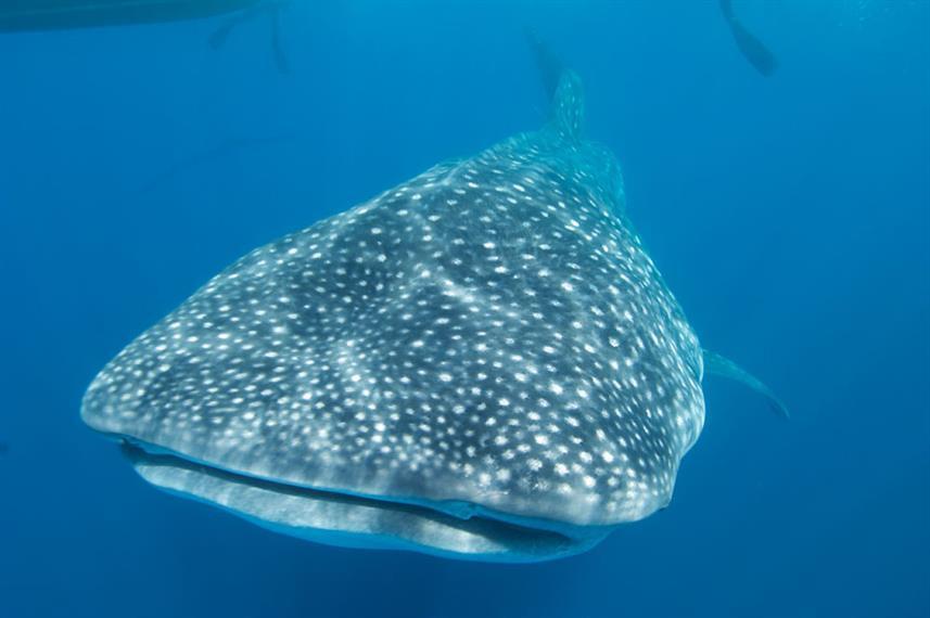 whaleshark-top-humboldt-explorer-galapag