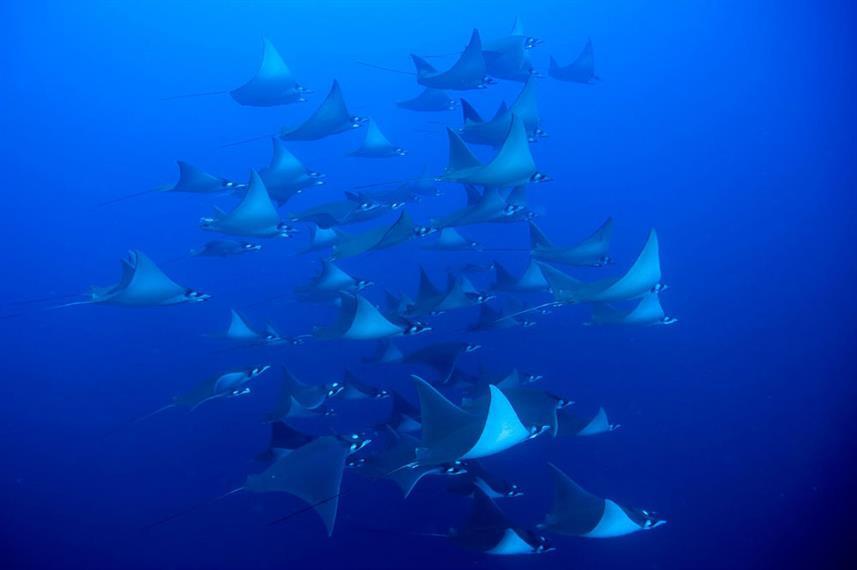 schooling-manta-raysw857h570crwidth857cr