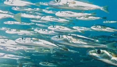 shiny-fish-humboldt-explorer-galapagos-e
