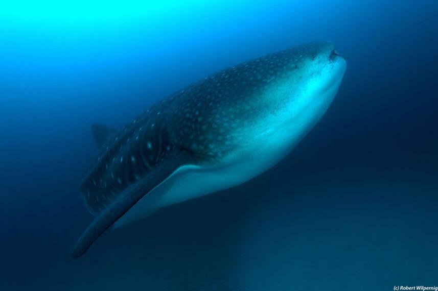 whalesharkw857h570crwidth857crheight570.