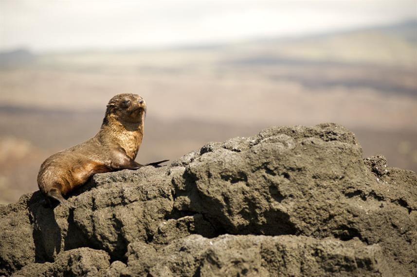Galapagos_Fur_Sealw857h570crwidth857crhe