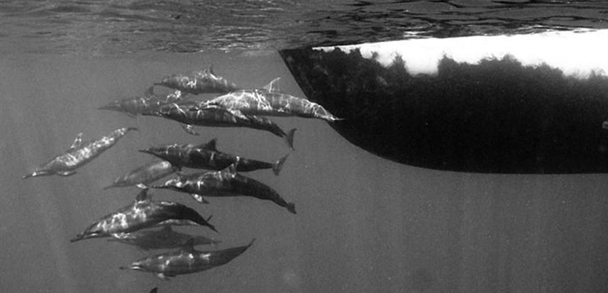 febrina-liveaboard-dolphinsw857h570crwid