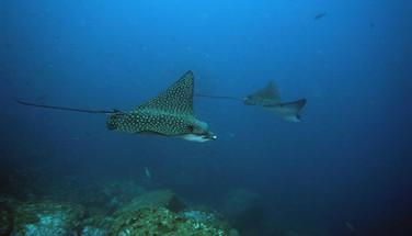 eagle-rays-galapagos-scuba-divingw857h57