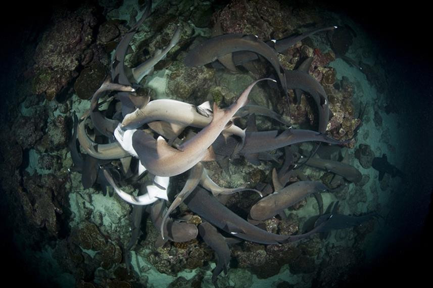 whitetips-hunting-on-a-night-dive-to-man